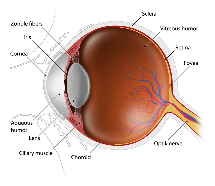 Eye Anatomy - Eyecare Professionals and Grand Island Optical